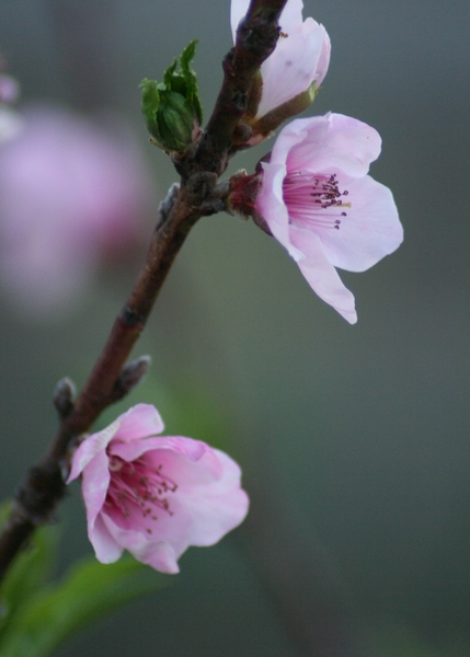 image of a pink flower tree