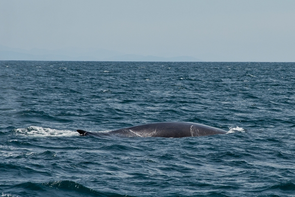 image of grey whale in the ocean